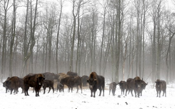Wildlife thriving without humans in Chernobyl nuclear zone
